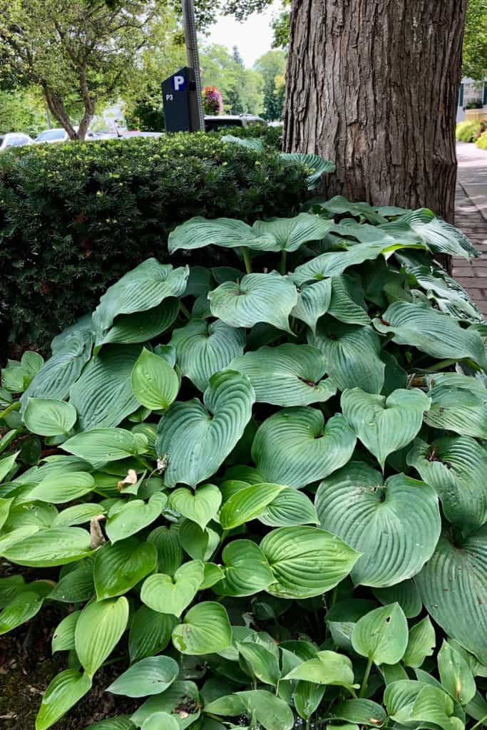 Hosta Leaves in the Fall