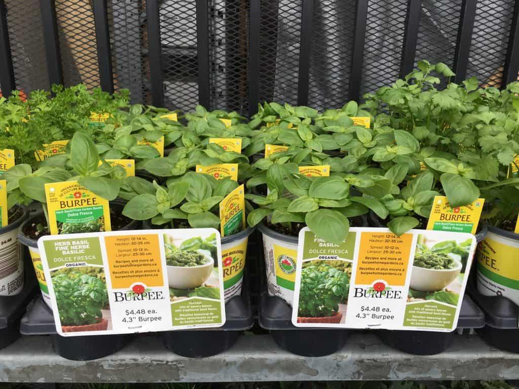 Is Basil a Perennial Plant