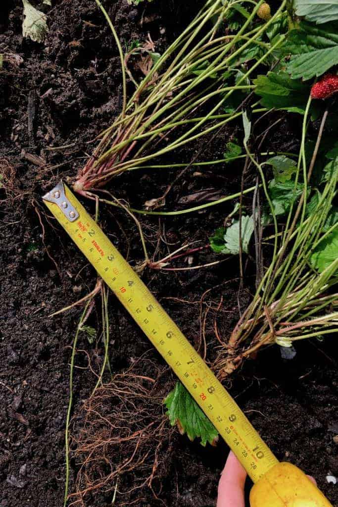 Measuring How Far Apart to Plant Strawberries