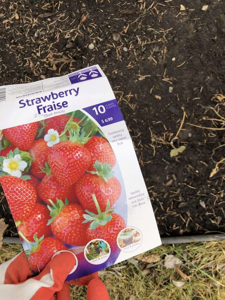 Planting New Strawberry Plants