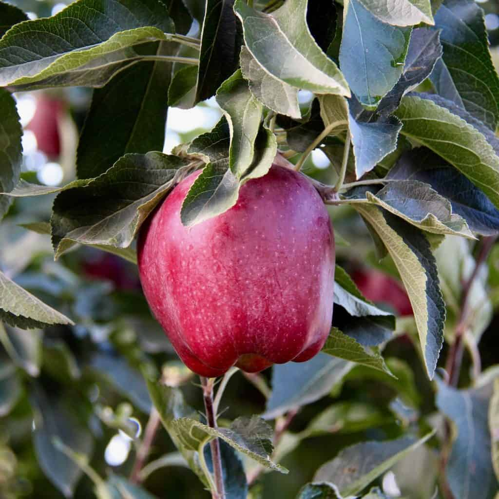 Ripe Red Apple Still on the Apple Tree