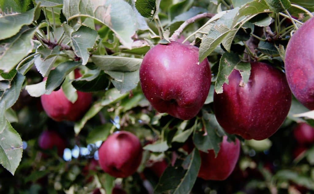 Ripe apples ready for late september harvest