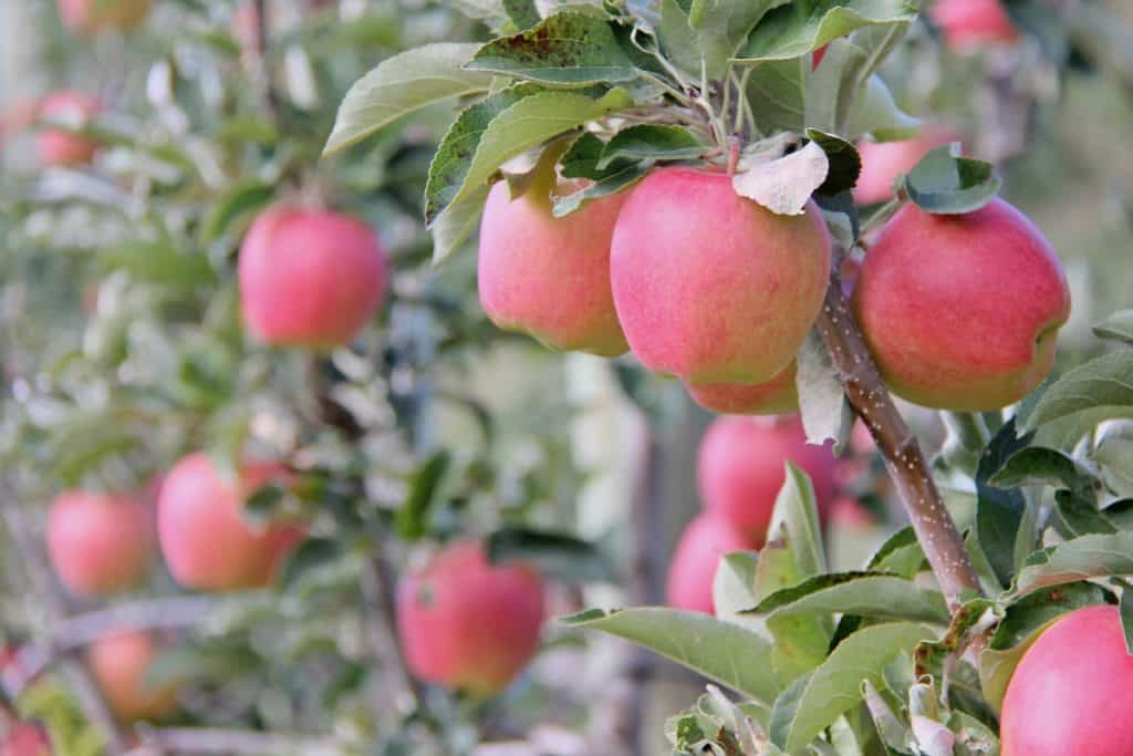 Ripe light pink apples on a small row of apple trees - how to tell apple maturity and ripeness