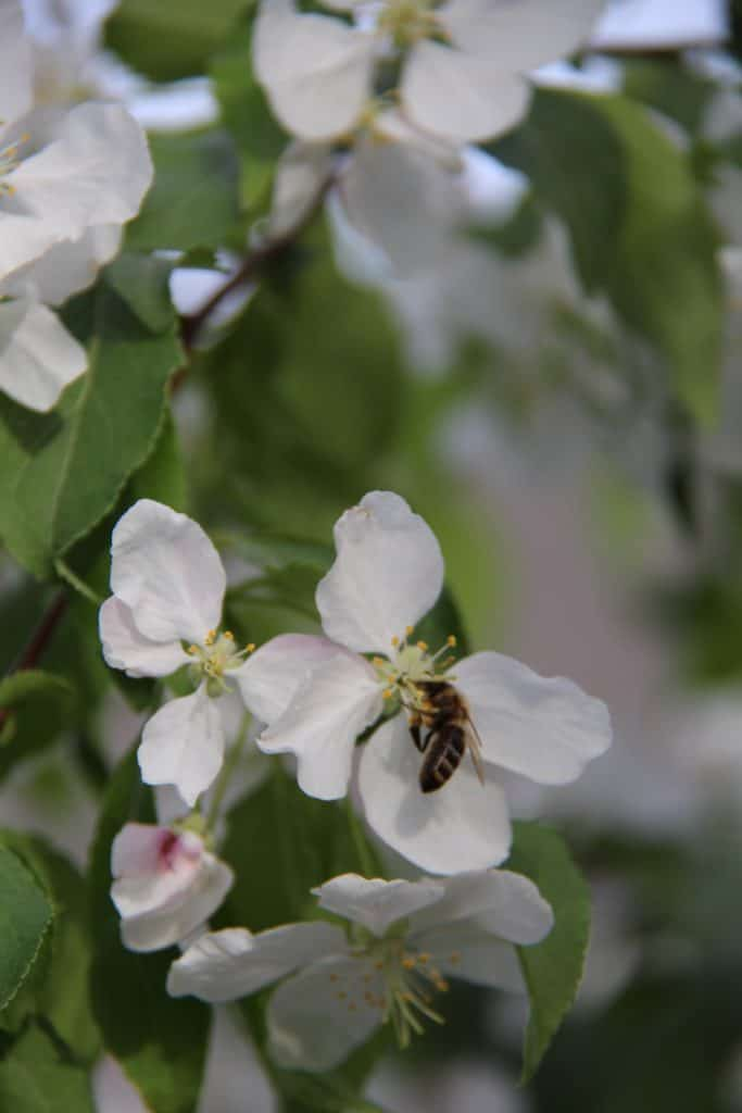 Spring Fruit Tree Blossoms with Honey Bee