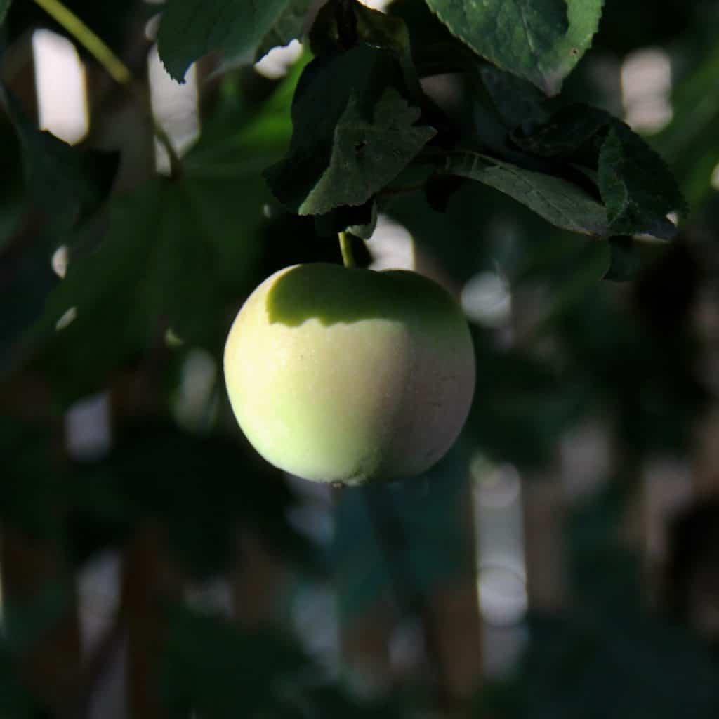 Unripe Apple Growing in Shady Spot on Tree in Mid-September