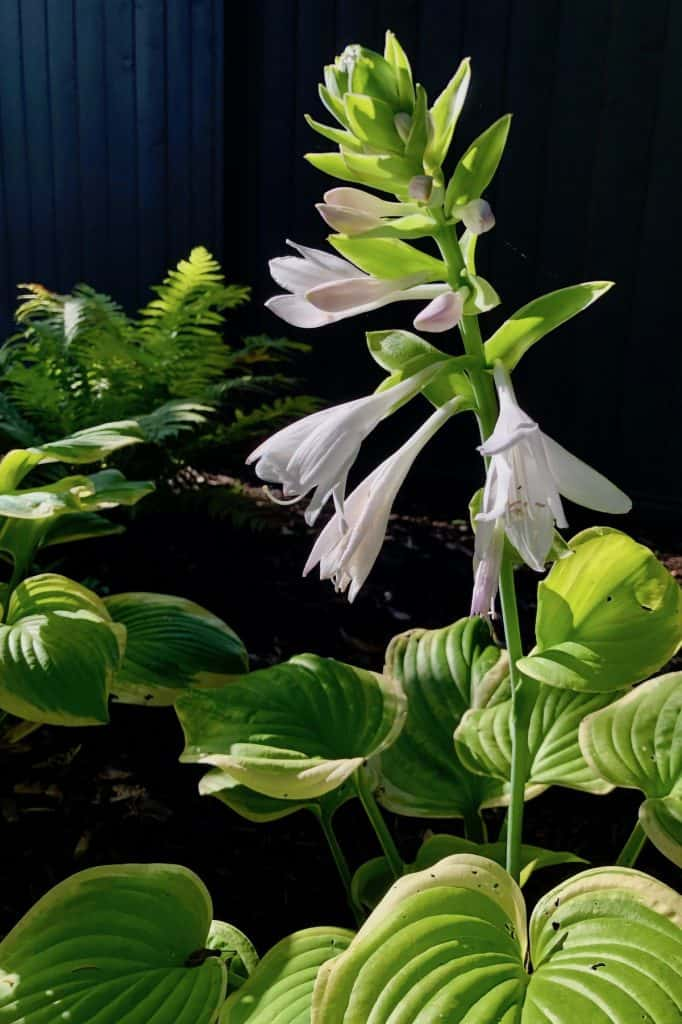 When to Cut Off Hosta Plant Blooms