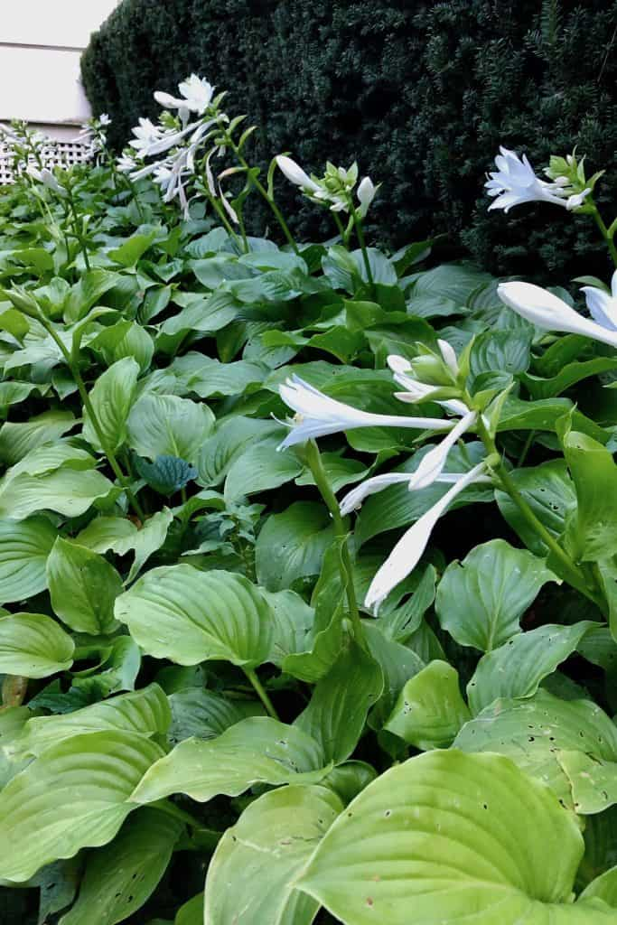 When to Prune Hosta Plants Back