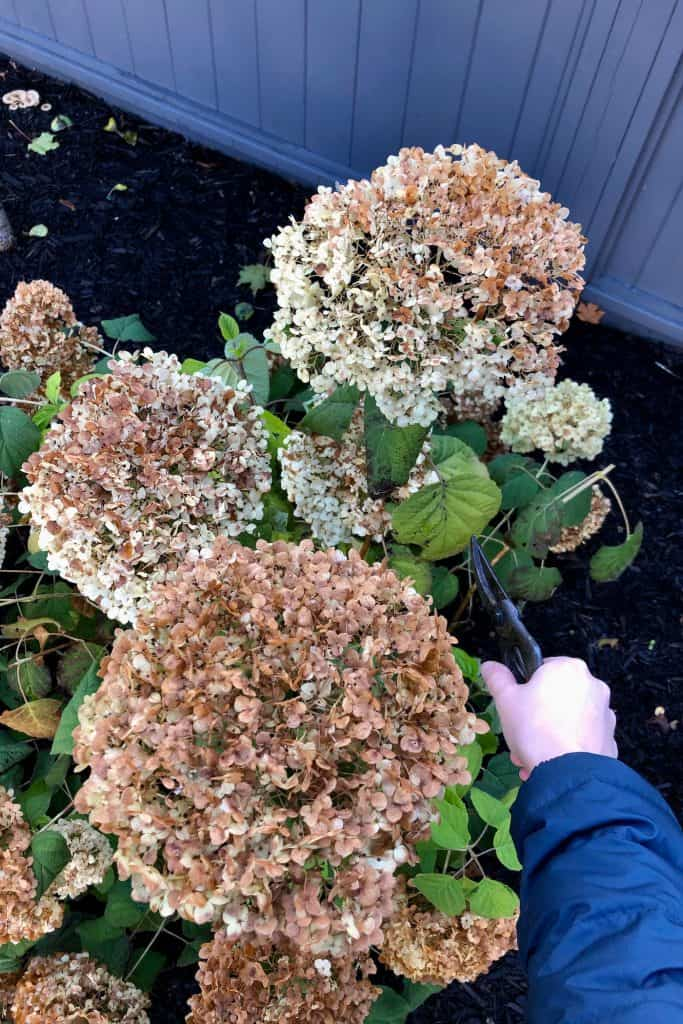 Deadheading Incrediball Hydrangea