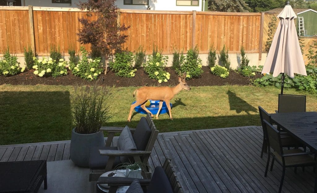 Deer Not Eating Hardy Hydrangeas