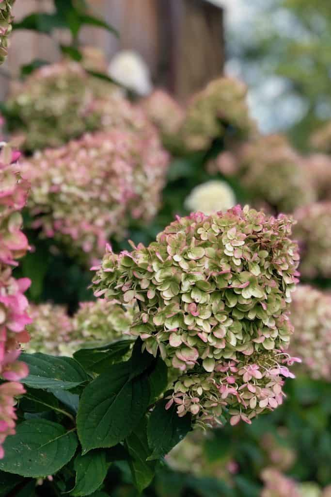 Hardy Hydrangea in Fall - Little Lime Panicle Hydrangea - Hydrangea paniculata