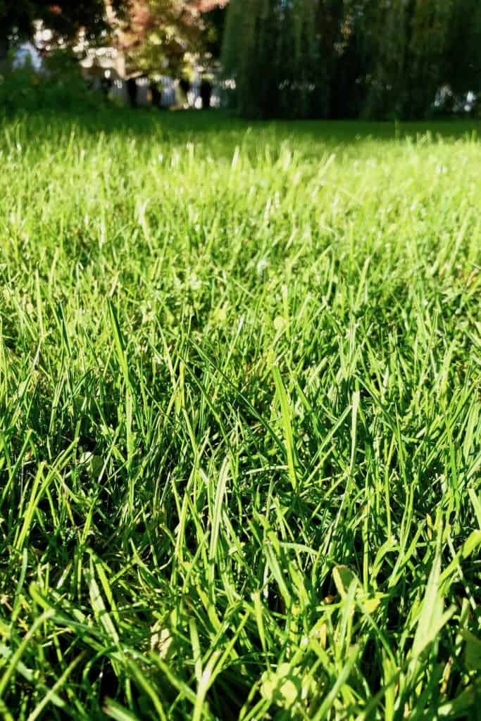 Healthy Grass Lawn in Fall