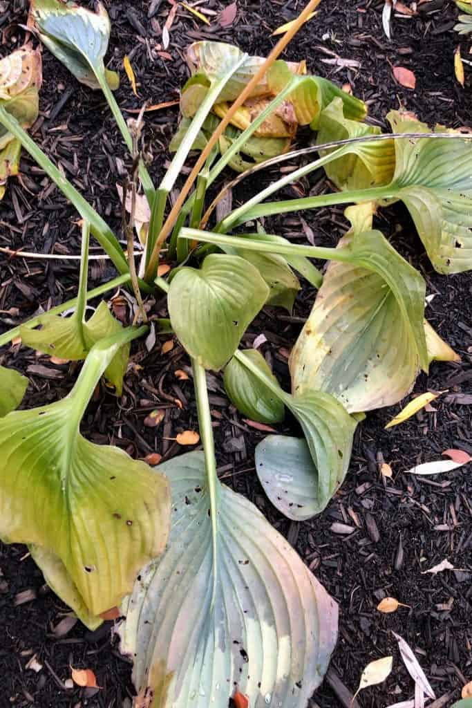 Hosta Leaves Killed by Frost in October