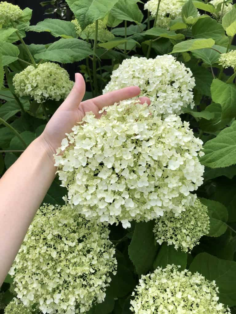 Incrediball Hydrangea Blooms - first week of July
