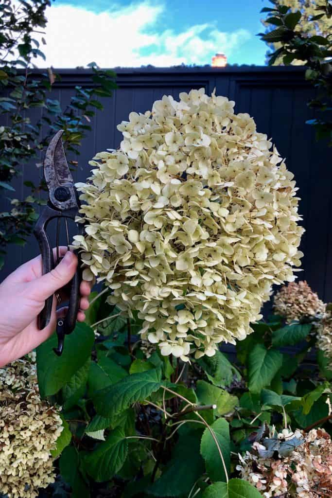 Incrediball Hydrangea in Fall
