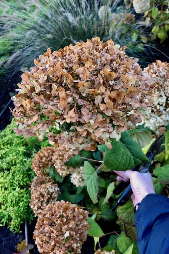 Incrediball Hydrangea in Fall After Frost