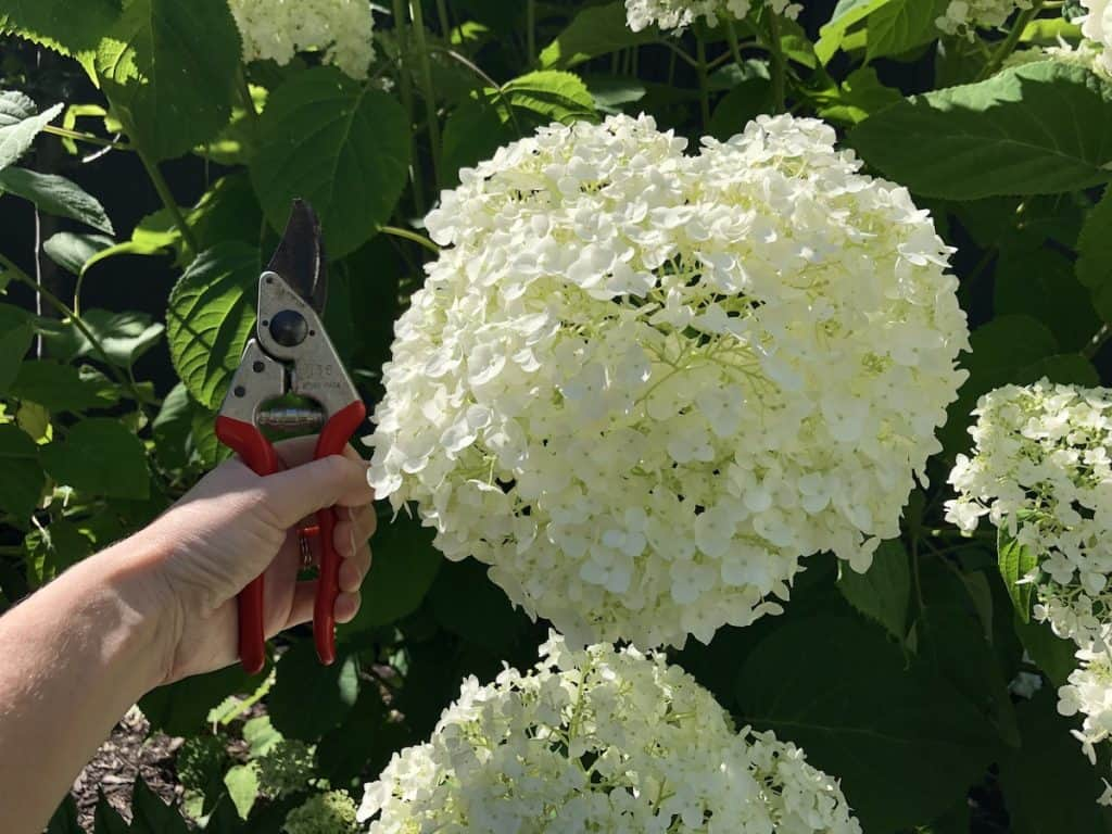 Incrediball hydrangea flower in mid-july