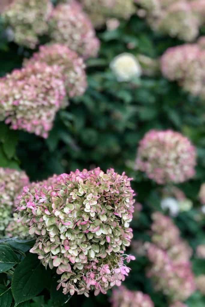 Little Lime Hydrangea Turning Pink in the Fall