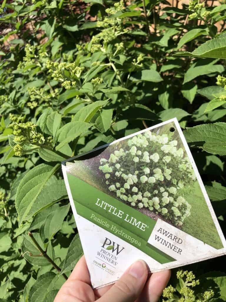 Little Lime hydrangea tag - proven winners