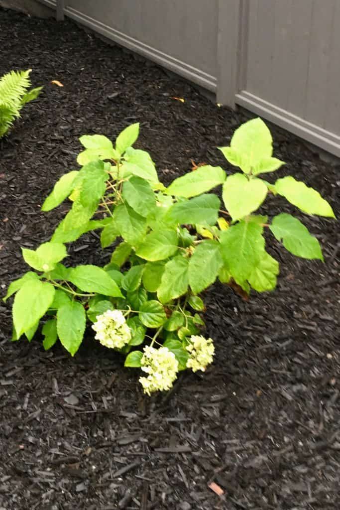 Newly Planted Incrediball Hydrangea - Improved Annabelle
