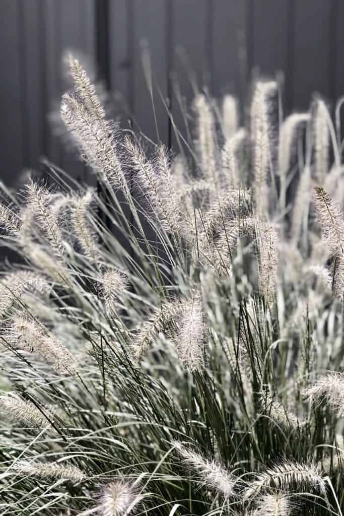 Ornamental Grass Heads Blowing in Wind in Late Fall
