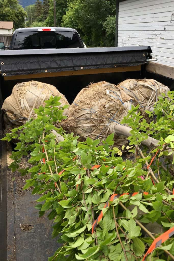 Three full grown trees loaded in a trailer with burlap root balls