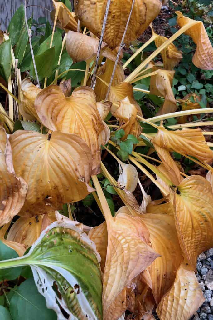 When to Cut Back Hosta Plants in the Fall