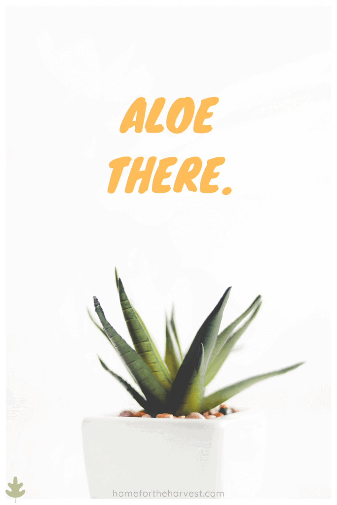 aloe there