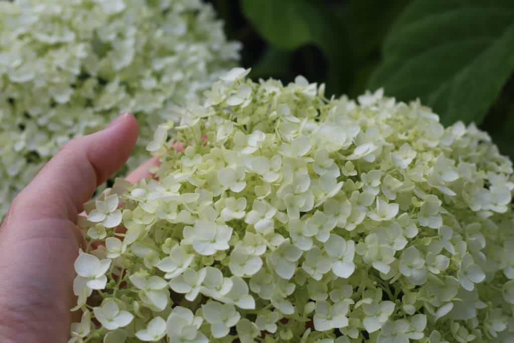 close up of incrediball hydrangea bloom in early July