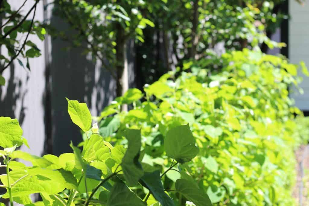 green leafy foliage of incrediball hydrangea hedge in early June