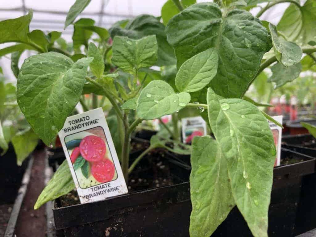 Baby Tomato Plant - Brandywine Heirloom