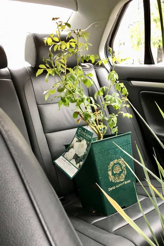 David Austin Rose Plant in Car on Leather Seat