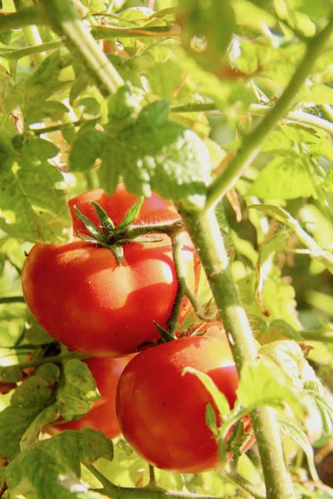 Growing Delicious Tomatoes in the Garden