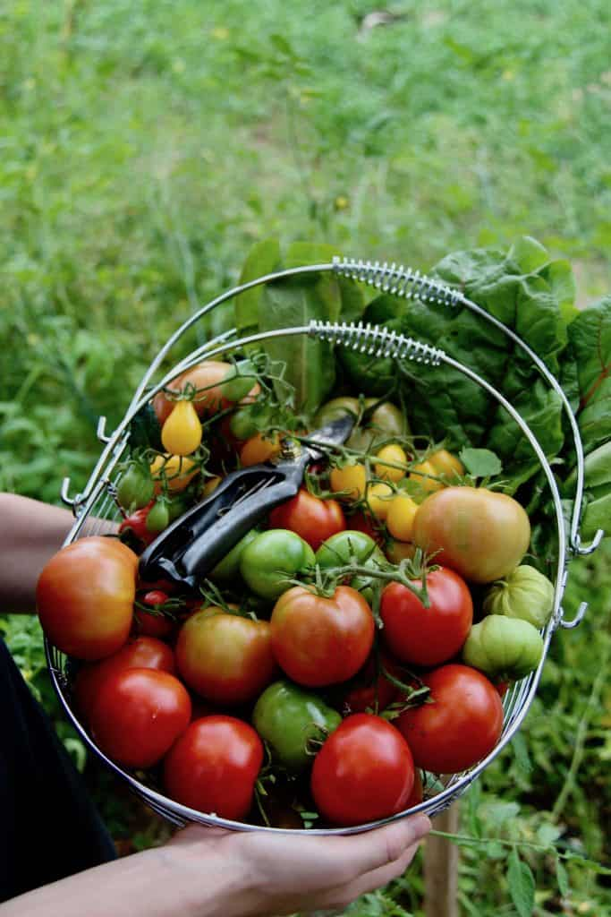 Harvesting tomatoes in the fall