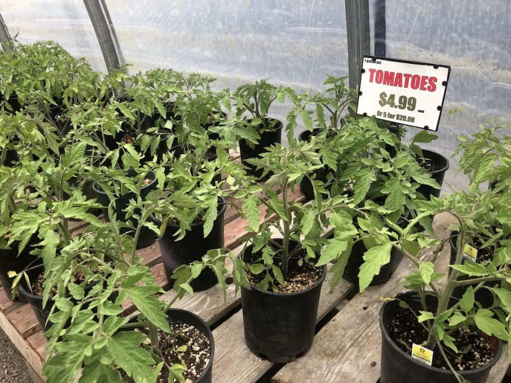 Tomato seedling plants for sale