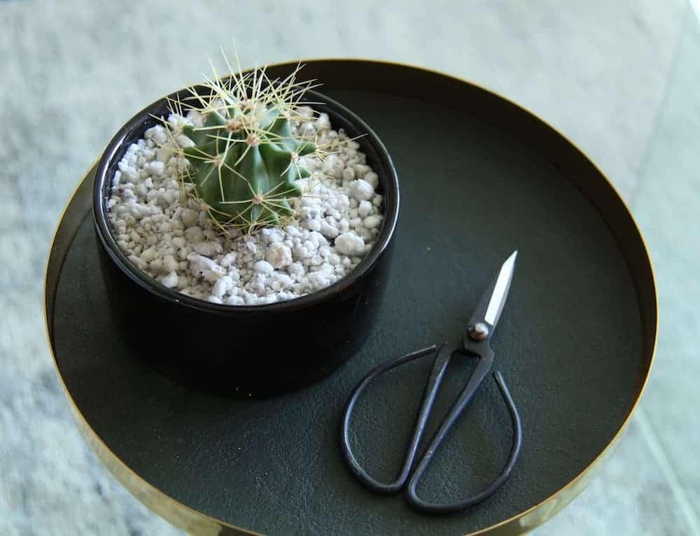 Cactus with Perlite Mulch Top Dressing