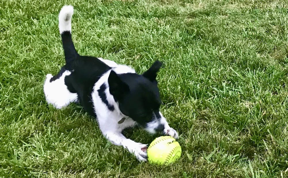Dog Playing With Baseball on Grass Lawn