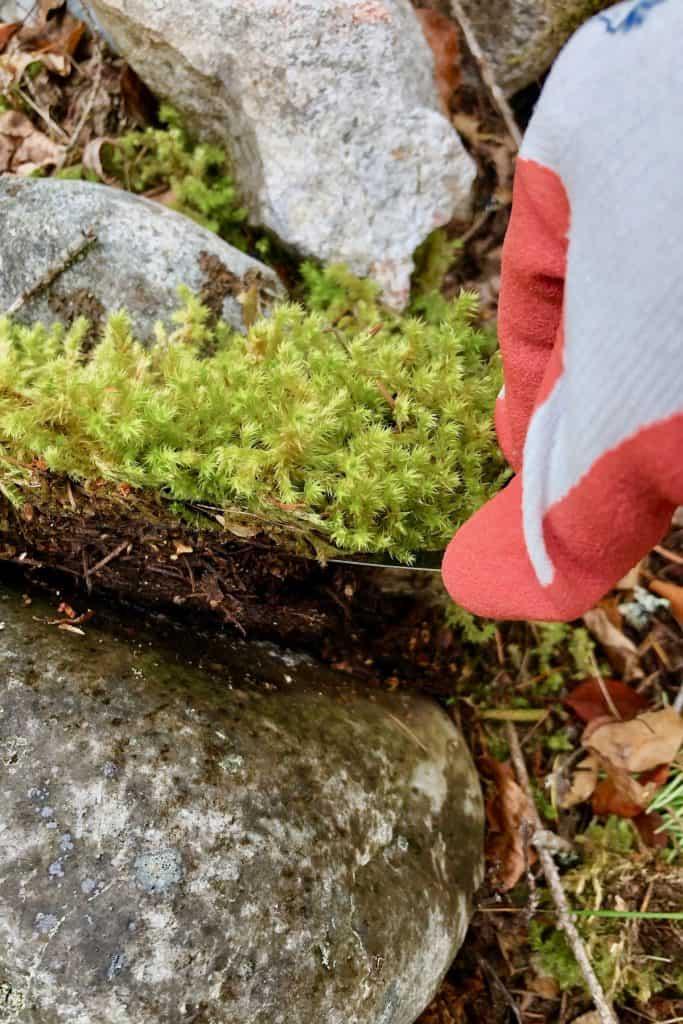 Harvesting fresh live moss