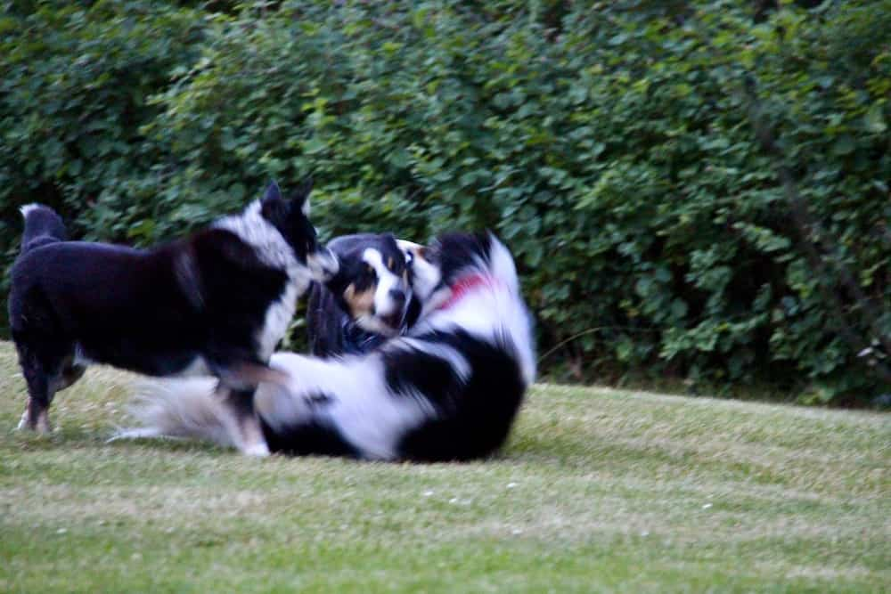 Three Big Dogs Playing on the Grass