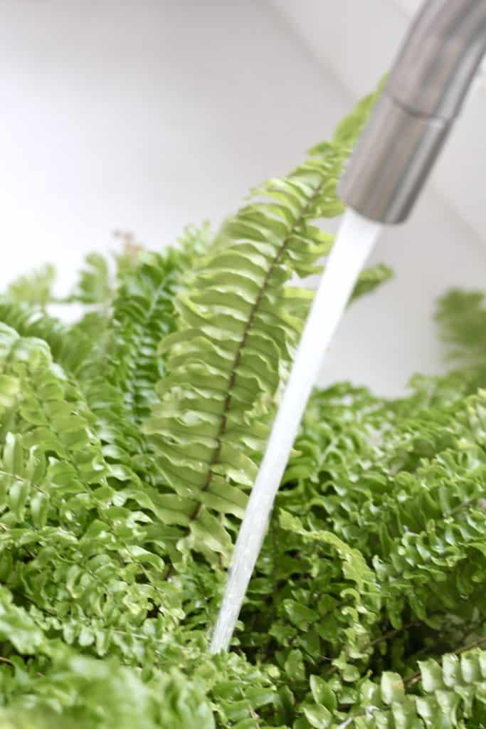 Caring for a boston fern grown indoors