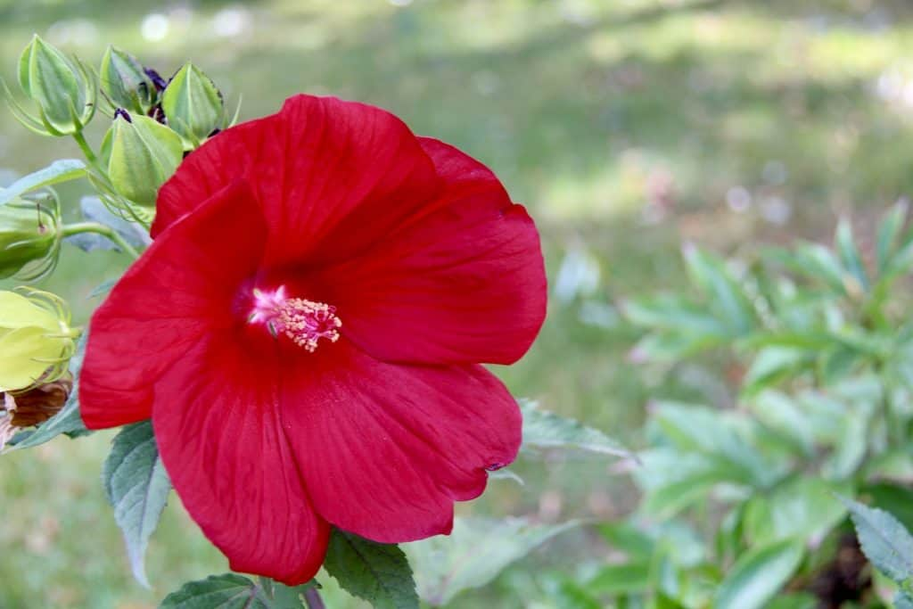 Deep Red Rose Mallow - Herbaceous Hibiscus - Hardy Hibiscus