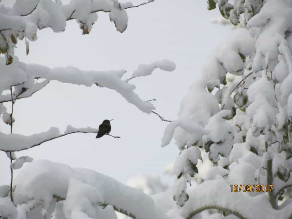 Hummingbird in the Snow - Wyoming