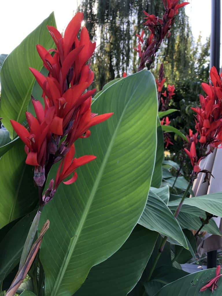 My Canna Lilies are Attracting Hummingbirds This Year