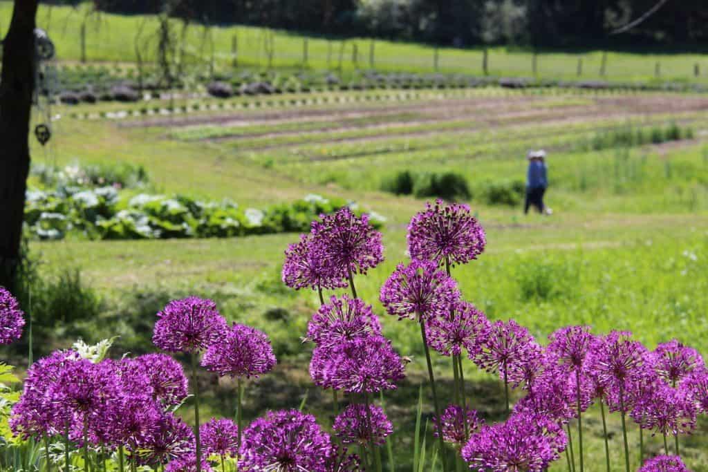 Organic Fertilizer for Cut Flower Garden