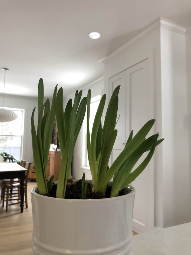 Paperwhites Falling Over - Solutions - Indoor Bulb Forcing - Gardening
