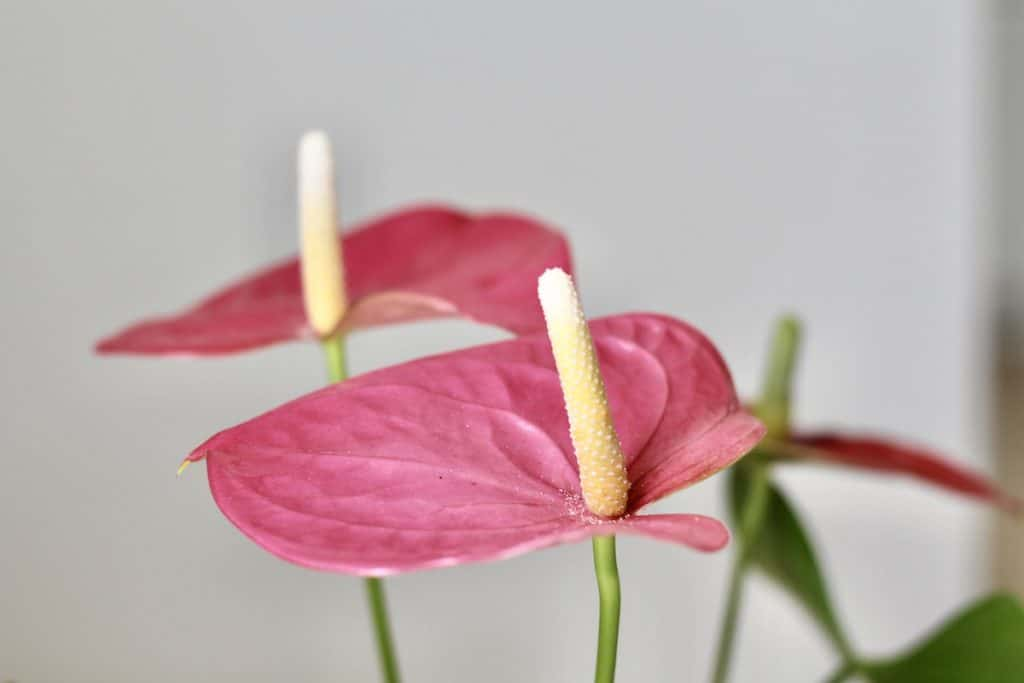 Pink Anthurium Flowers - houseplant close up - tropical