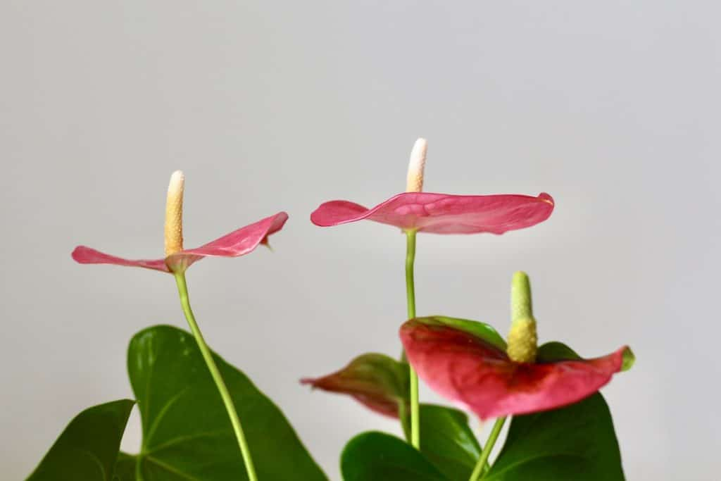 Pink Bracts of Anthurium Plant against white wall with dark green leaves