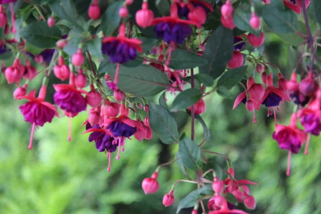 Pink and Purple Hanging Fuschia