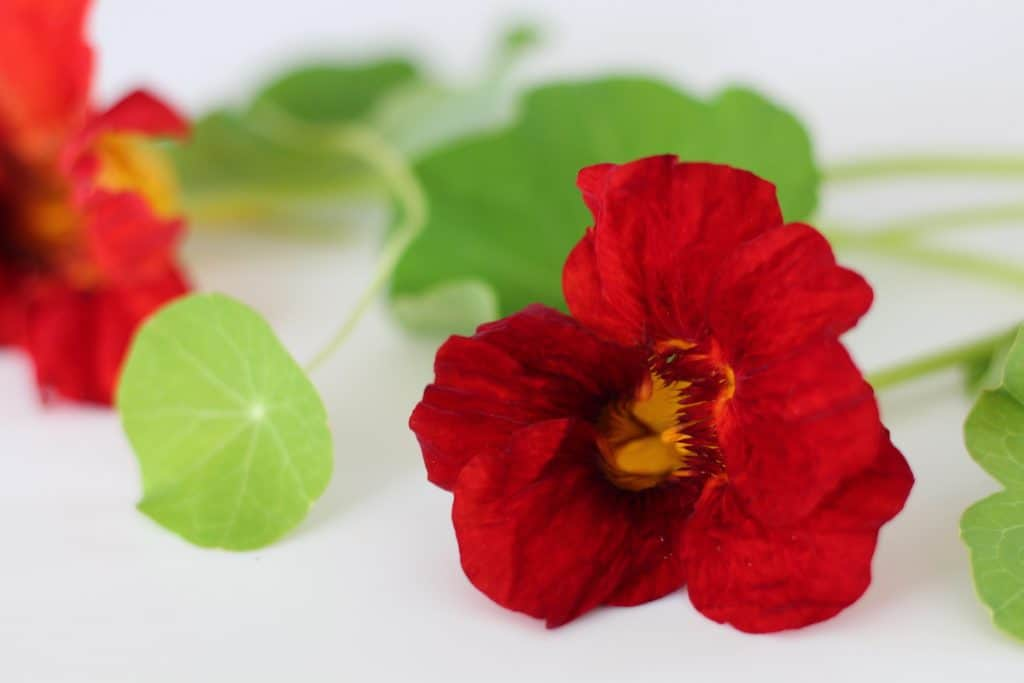Red Nasturtium Flower - Tubular Edible Flower - Good for Pollinating Hummingbirds