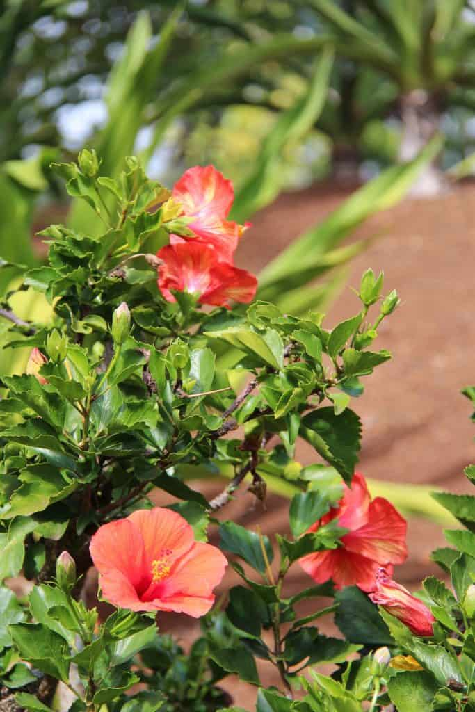 Tropical Hibiscus Shrub with Orange-Red Flowers