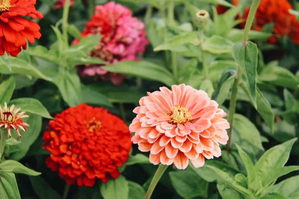 Red, Pink, and Orange Zinnia